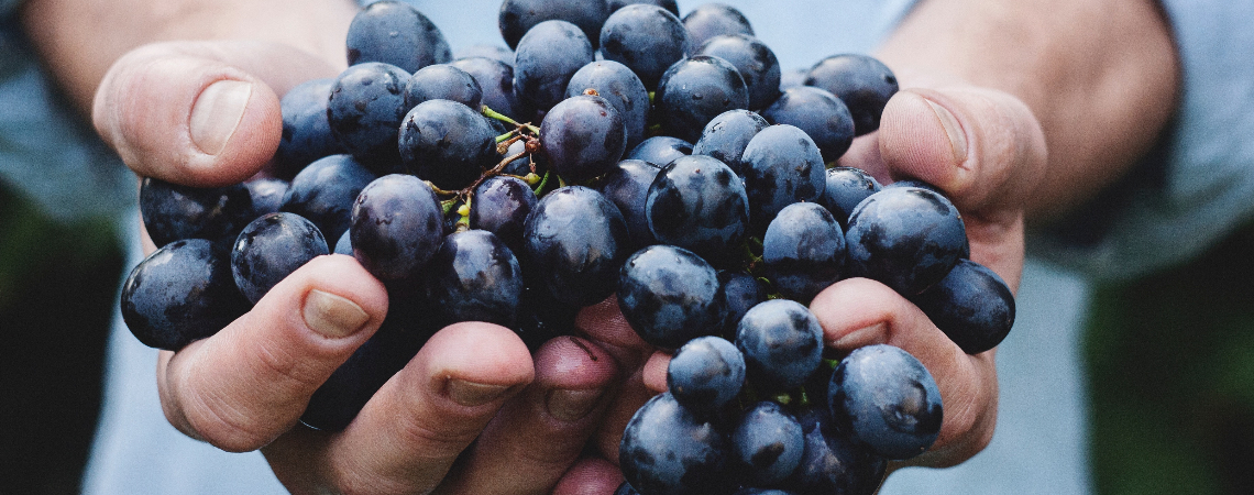 Around 90 per cent of the grapes that are harvested during this period will go towards the making of high quality wines, including Girgentina, Gellewz